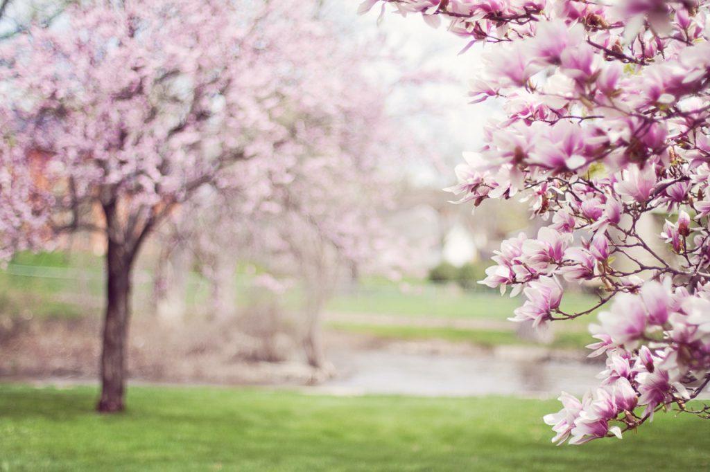 magnolia-trees-springtime-blossoms-spring-38910